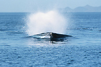 fin whale, Balaenoptera physalus, asymmetrical head coloration, Mexico, Northern Sea of Cortez, Pacific Ocean