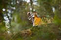 Female Bengal Tiger (Panthera tigris tigris) (Lakshmi) yawning and with cub - around 3.5 months old - resting on rock outcrop in bamboo forest. Bandhavgarh National Park, Madhya Pradesh, India.