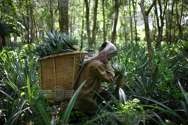 A Garo man carries a heavy basket of pineapples through the forest. The Garo (or Mandi, as they refer to themselves) are an ethnic minority thought to be of Tibeto-Burmese origin. Prior to British rule they were mostly anamists but missionary work led the majority to convert to Christianity. The Garo of the Madhupur forest have long been under the threat of eviction by the government and the forest that they gain much of their livelihood from is being rapidly destroyed by unregulated logging.