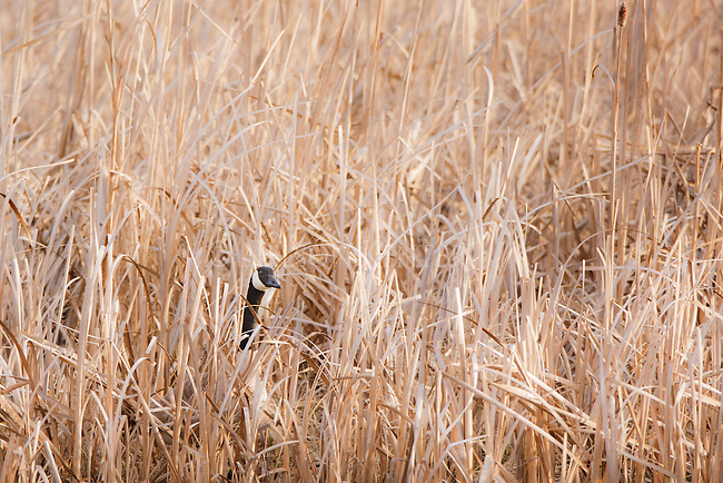 A Canada Goose in the cattail marsh at Lee Metcalf Wildlife Refuge in western Montana.