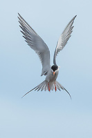 Forster's Tern Hovering at Hutton Lake  NWR