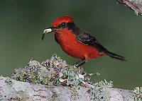 Vermillion Flycatcher, Pyrocephalus rubinus, male removing fecal sac from nest, Lake Corpus Christi, Texas, USA, May 2003
