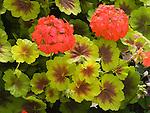Indian Dunes Geranium, Pelargonium domesticum