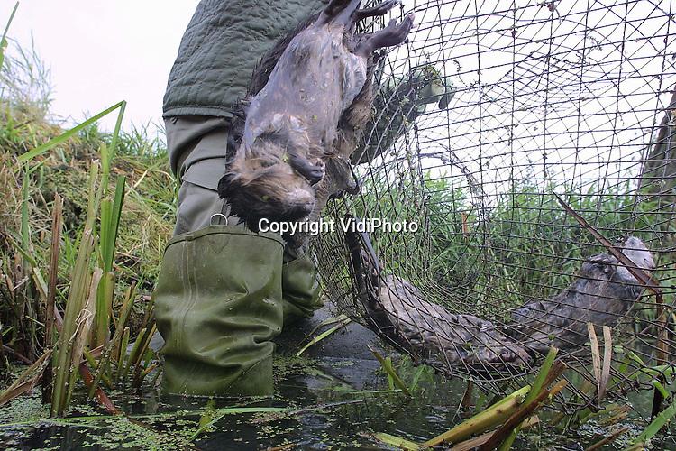 Foto: VidiPhoto..DODEWAARD - Rattenvanger H. Derksen van de provincie Gelderland leegt in de Betuwse sloten en vaarten zijn vangkooien. In deze periode begint de trek van (jonge) muskusratten van hun geboortegrond naar een ander gebied en dat is een goed moment om ze te vangen. De vangkooien worden daarom onder water bij duikers geplaatst. Het aantal muskusratten in Nederland is dit jaar flink toegenomen omdat er tijdens de MKZ-crisis geen ratten gevangen mochten worden in het buitengebied. De rattenvangers hebben er nu hun handenvol aan.
