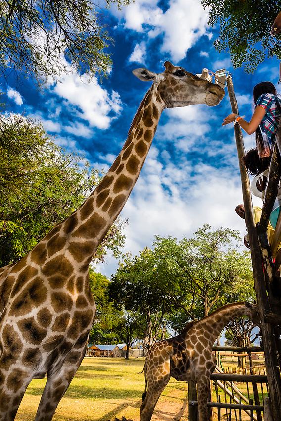 Giraffes, Lion Park, near Johannesburg, South Africa.