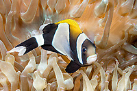 Widestriped anemonefish, Amphiprion latezonatus, Lord Howe Island, Australia, Tasman Sea, Pacific Ocean
