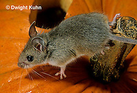 MU59-036z  White-Footed Mouse - on Jack-o-lantern -  Peromyscus leucopus