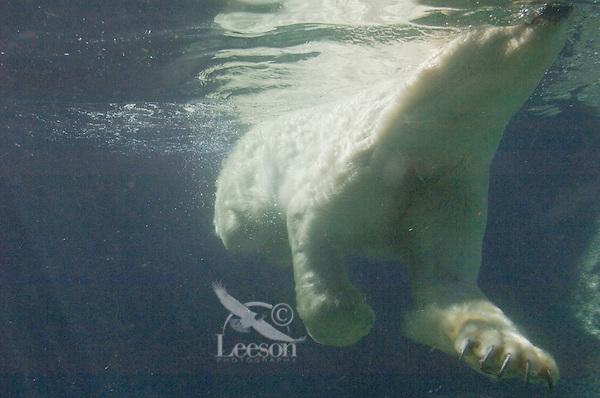 Polar Bear (Ursus maritimus) swimming as viewed from underwater (captive setting).