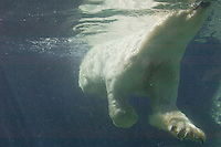 Polar Bear (Ursus maritimus) swimming as viewed from underwater (captive setting).