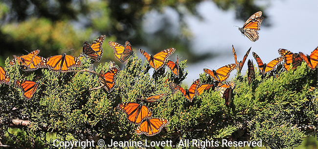 Monarch's overwintering in Santa Cruz tree groves. The upper side of the wings is tawny-orange,  The underside is similar yellow-brown instead of tawny-orange and the white spots are larger. Monarch butterfly (Danaus plexippus) flying.