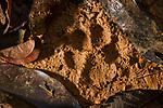 Ocelot (Leopardus pardalis) track, Osa Peninsula, Costa Rica