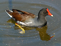 Common moorhen adult breeding swimming.