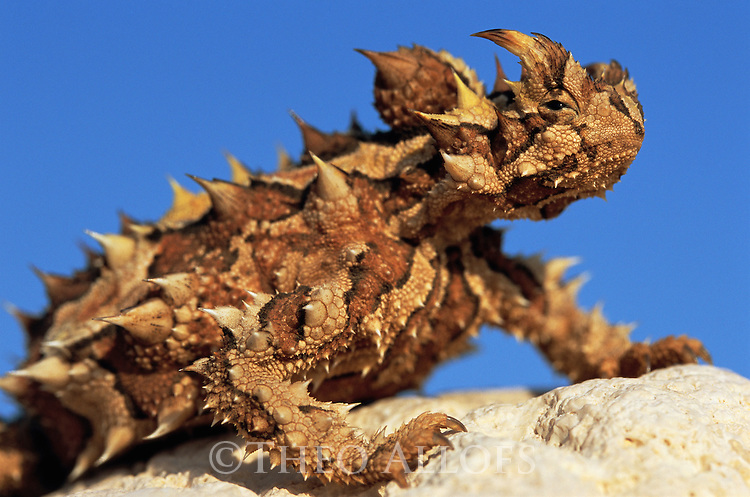 Australia, Western Australia, thorny devil basking on rock, blue sky in back, close-up