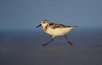 Sanderling (Calidris alba), adult running, South Padre Island, Texas, USA