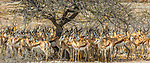 Springbok herd, Etosha National Park, Namibia<br />