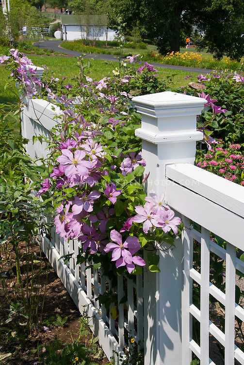 Pink clematis on white fence climbing vine plant flower stock clematis on white fence pink flowering perennial climbing vine mightylinksfo