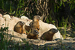 Yellow-bellied marmots sun themselves outside their burrow in Grand Teton National Park, Wyoming.