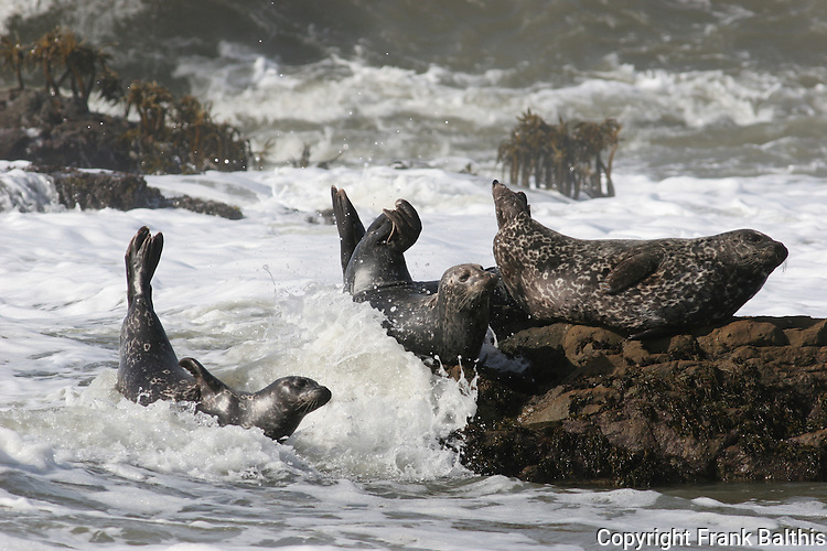 harbor seals and surf