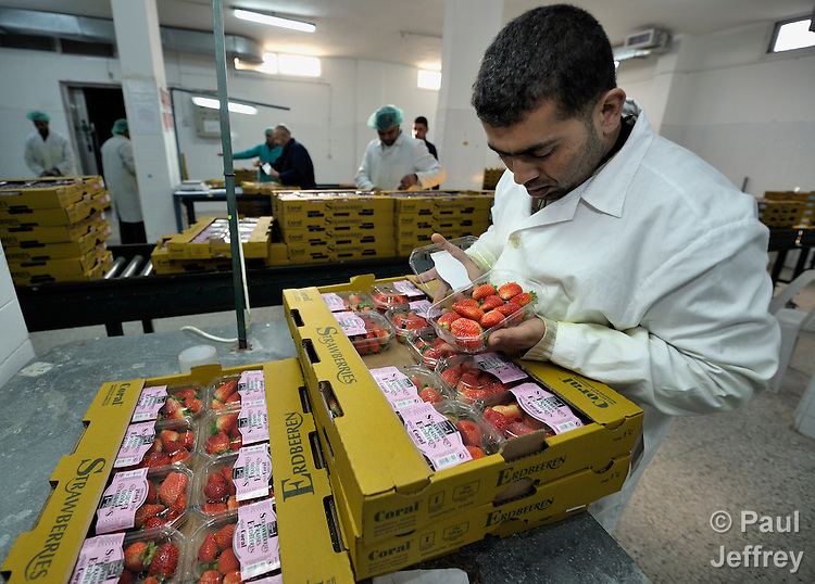 An inspector closely checks strawberries grown for export by local farmers in Beit Lahia in the northern Gaza strip. After several years of blocking strawberry exports, in late 2010 Israel began permitting limited exports of strawberries from the Gaza strip, destined for European markets..