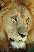 Lion, Panthera leo, Serengeti, Tanzania