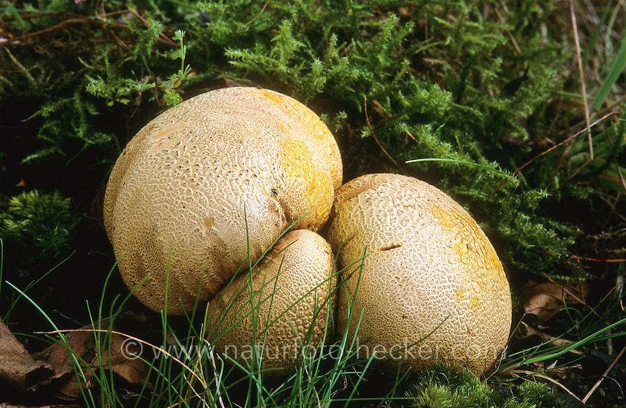 Dickschaliger Kartoffelbovist, Gemeiner Kartoffelbovist, Hartbovist, Bovist, Boviste, Scleroderma citrinum, common earthball, pigskin poison puffball, common earth ball