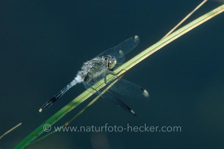 Östliche Moosjungfer, Männchen, Leucorrhinia albifrons, dark whiteface, male, la Leucorrhine à front blanc