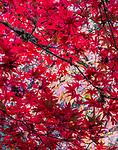 Japanese maple (Acer palmatum), Washington Park Arboretum, Seattle, Washington, USA<br /> <br /> Canon EOS 5DS R, EF100-400mm f/4.5-5.6L IS II USM lens, f/25 for 2 seconds, ISO 100