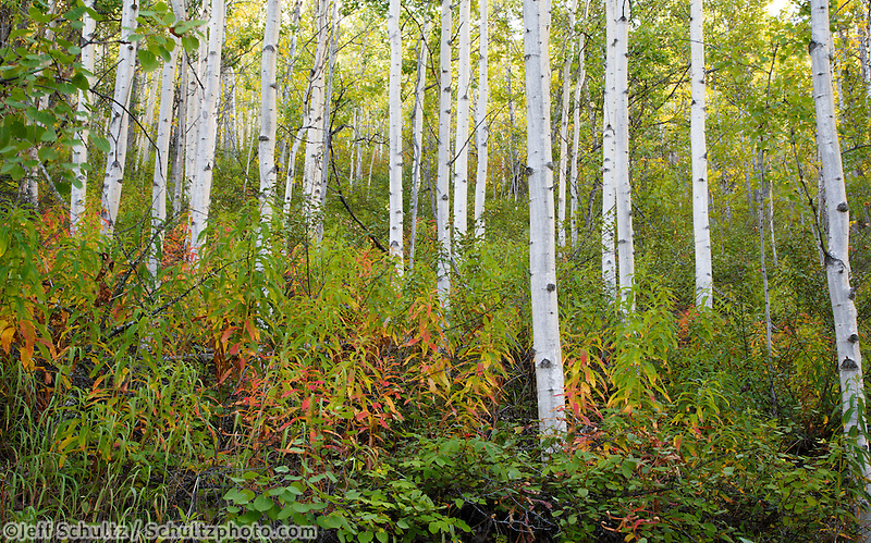 Fall Landscape of aspen trees and forest floor at Eklunta Lake area in Chugach State Park.   Fall / Autumn Alaska<br />