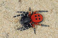 Rote Röhrenspinne, Schwarze Röhrenspinne, Männchen, Eresus kollari, Eresus cinnaberinus, Eresus niger, Lady bird spider, ladybird spider, velvet spider, male, Érèse coccinelle, Röhrenspinnen, Eresidae