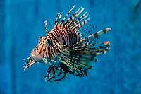 The red lionfish Pterois volitans is a venomous species of fish found in the Pacific, and is now considered as an invasive species having spread to the Caribbean. Red lionfish have white stripes alternated with red or brown stripes. Adults in this species can grow as large as 18 inches in length. Its venomous spikes give it the common name lionfish. These poisonous spines make the fish inedible to potential predators.