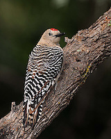 Gila Woodpecker, Southeastern Arizona