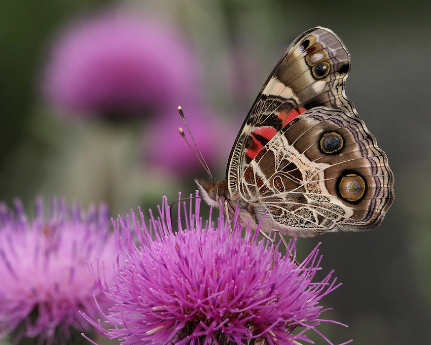 The American Lady Butterfly, though similar to the Painted Lady Butterfly, can be distinguished by the two large eye spots on the underside of their hindwings.