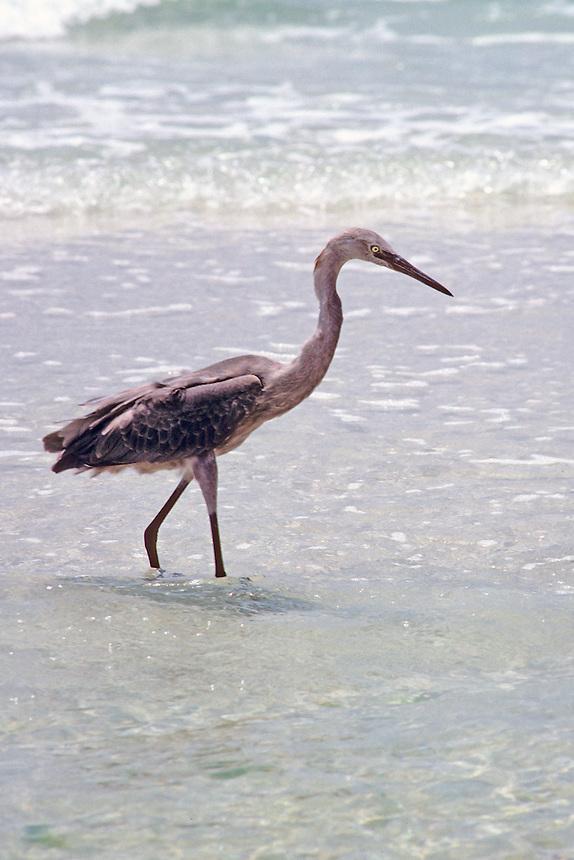 Reddish egret, Florida