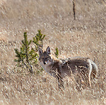 Coyotes are often seen in Yellowstone.