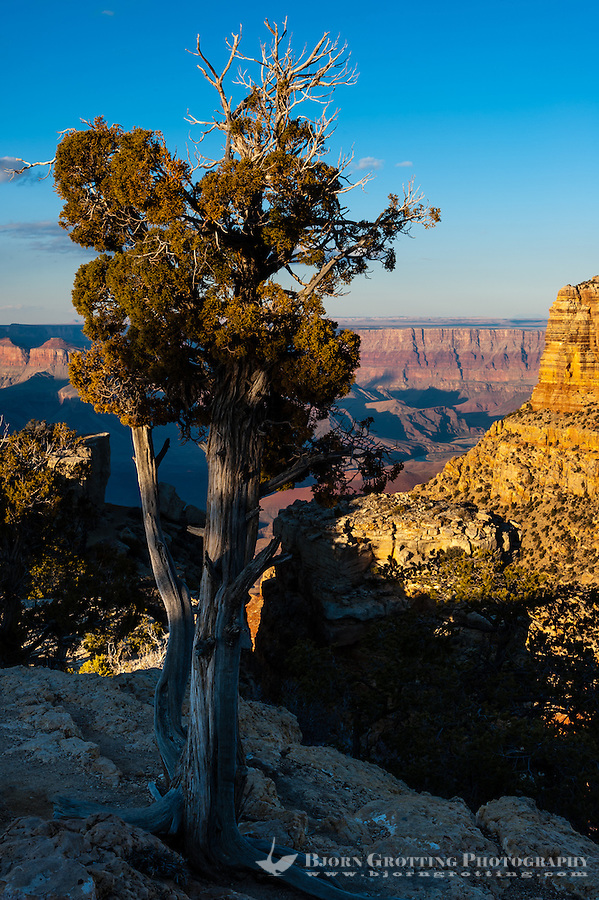 United States, Arizona, Grand Canyon. Lipan Point , an old tree.