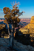United States, Arizona, Grand Canyon. Lipan Point , an old tree.