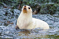 Antarctic fur seal, Arctocephalus gazella, aka Kerguelen fur seal, rare, leucistic pup, South Georgia, Atlantic Ocean