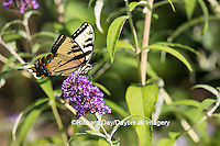 03023-02818 Eastern Tiger Swallowtail Butterfly (Papilio glaucus) on Butterfly Bush (Buddleia davidii), Marion Co., IL