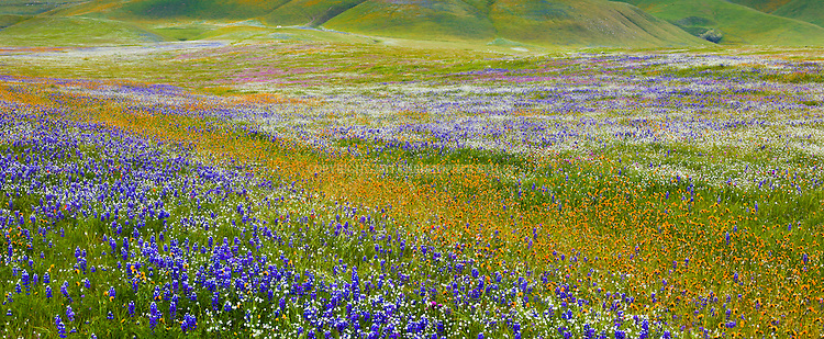 An abundance of wildflowers carpet the pastures and hillsides east of Bakersfield, Kern County, CA.