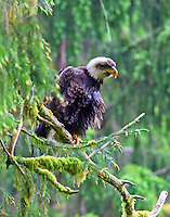 Bald eagle in rain forest