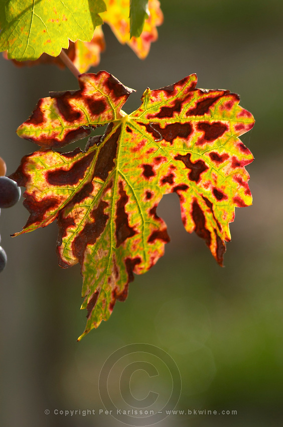 Vine leaf. Cabernet Franc. Chateau Paloumey, Haut Medoc, Bordeaux, France.