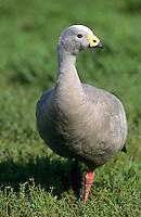 Hühnergans, Hühner-Gans, Cereopsis novaehollandiae, Cape Barren Goose, Cape-Barren-Goose