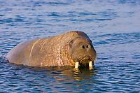 walrus, odobenus rosmarus, Spitsbergen, Svalbard, Norway, Arctic Ocean
