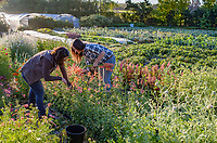 Women farmers l-r) Nina Fitch and Katie Brimm, harvesting cut flowers in early morning; No-till flower farming, Singing Frogs Farm
