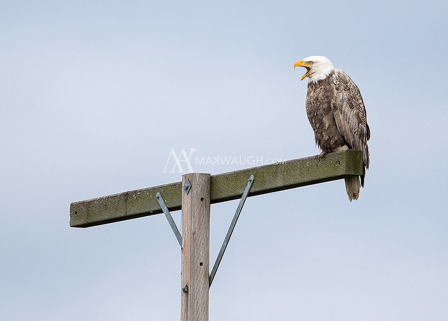 My first view of a leucistic Bald eagle. Note the lighter-than-normal body plumage in this adult bird.