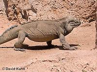 0627-1106  Rhinoceros Iguana, Haiti and Dominican Republic, Cyclura cornuta  © David Kuhn/Dwight Kuhn Photography