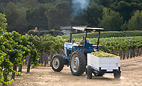 A tractor transports the SAUVIGNON BLANC grape harvest to JOULLIAN VINEYARDS winery - CARMEL VALLEY, CALIFORNIA