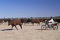 "Sandra Rogers, a jillaroo, mustering cattle with motorbike on ""Bulloo Downs"" station, near Thargomindah, outback Queensland."