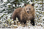 Grizzly bear cub in fresh snow. Yellowstone National Park, Wyoming.