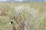 Both these species, the White-headed Marsh Tyrant and the Grey Monjitas are declining species.